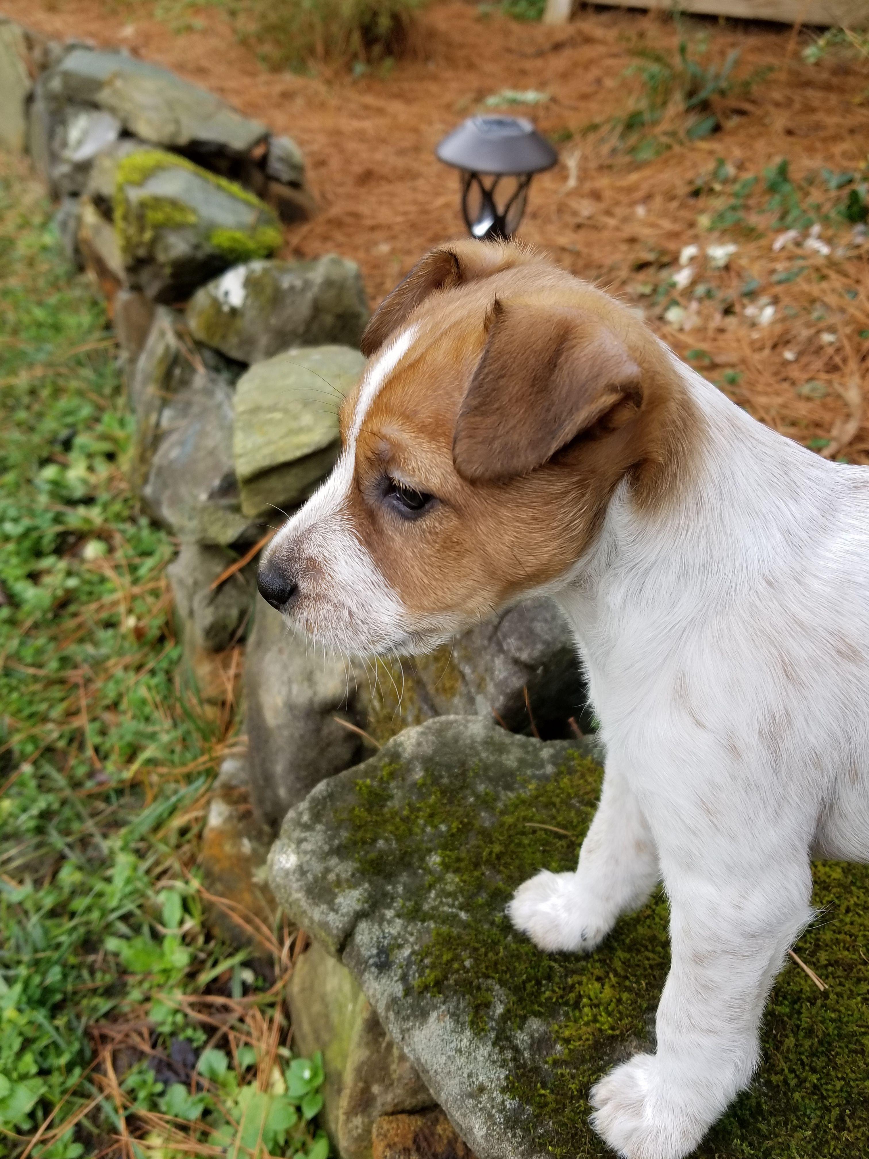 Jack Russell X Red Heeler Puppy Zuzu