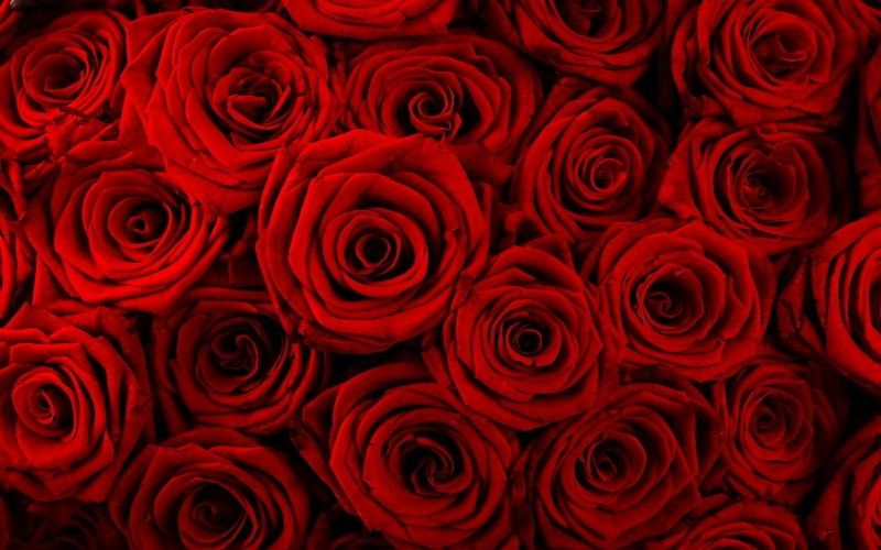 Undefined Images Roses Wallpapers 54 Wallpapers