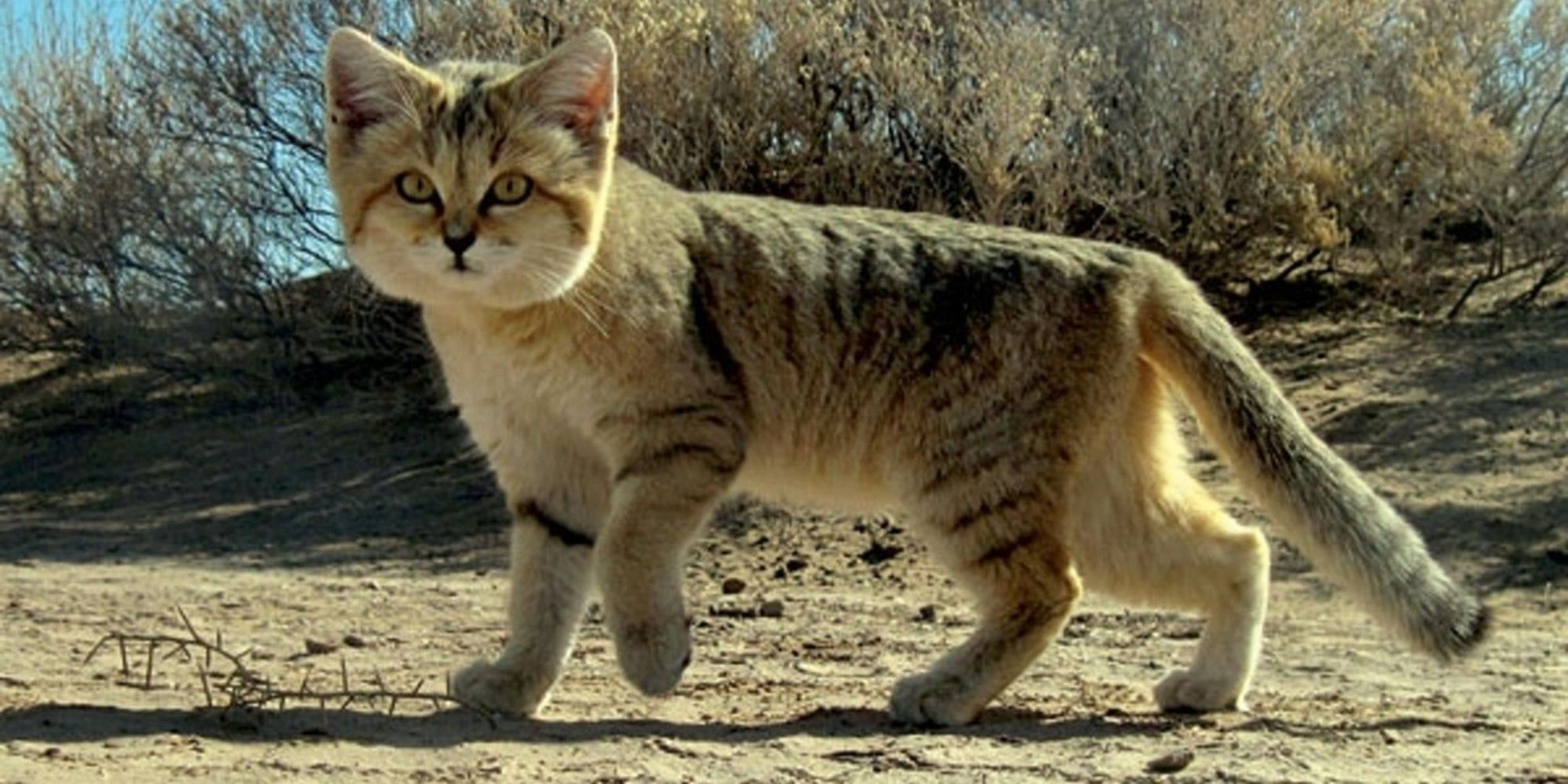 Arabian Sand Cat Spotted for First Time in a Decade Rare