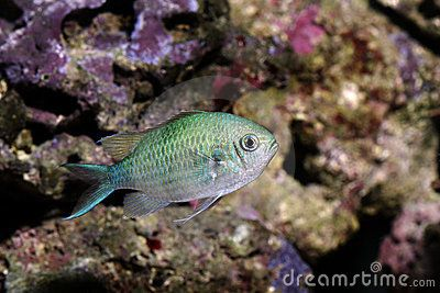 Blue Green Chromis 3 Or 5 Do Better In Odd Numbers Fish Fish Pet Pets