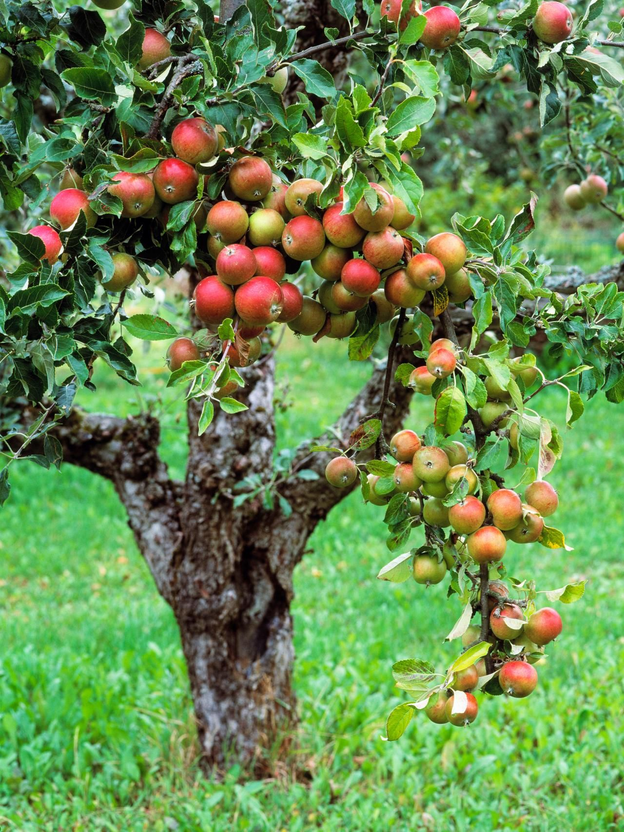 How should the feeding of apple trees be carried out