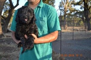 Labradoodle Puppies Puppies For Sale In Melbourne Labradoodle Puppy Labradoodle Black Labradoodle Puppy