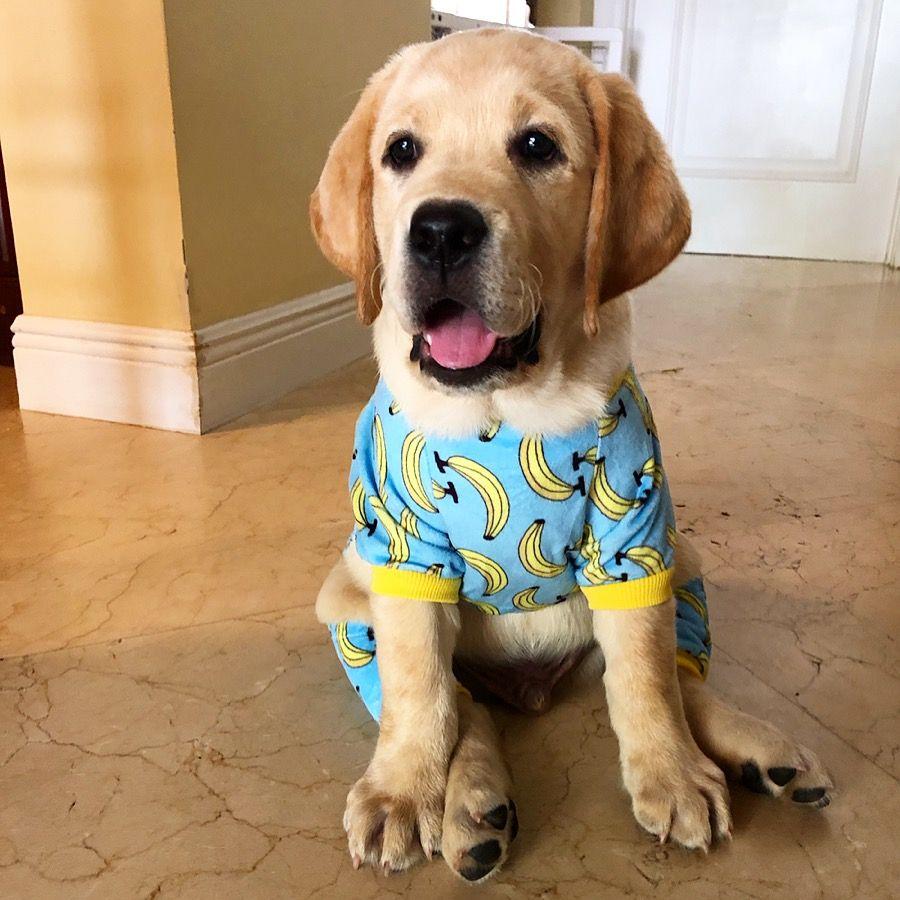 Labrador Puppy Pj Pajamas With Images Labrador Retriever