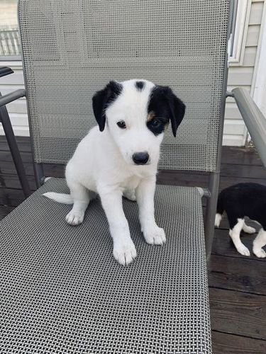 Border Collie Jack Russell Puppies Puppies Jack Russell Puppies Jack Russell