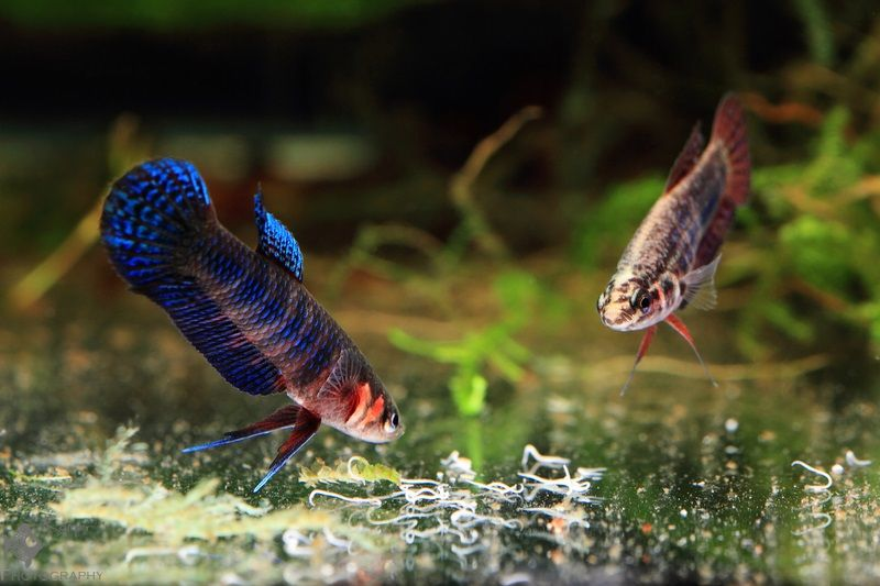 Betta hendra pair eating grindal worms betta pinterest for Worms in fish tank