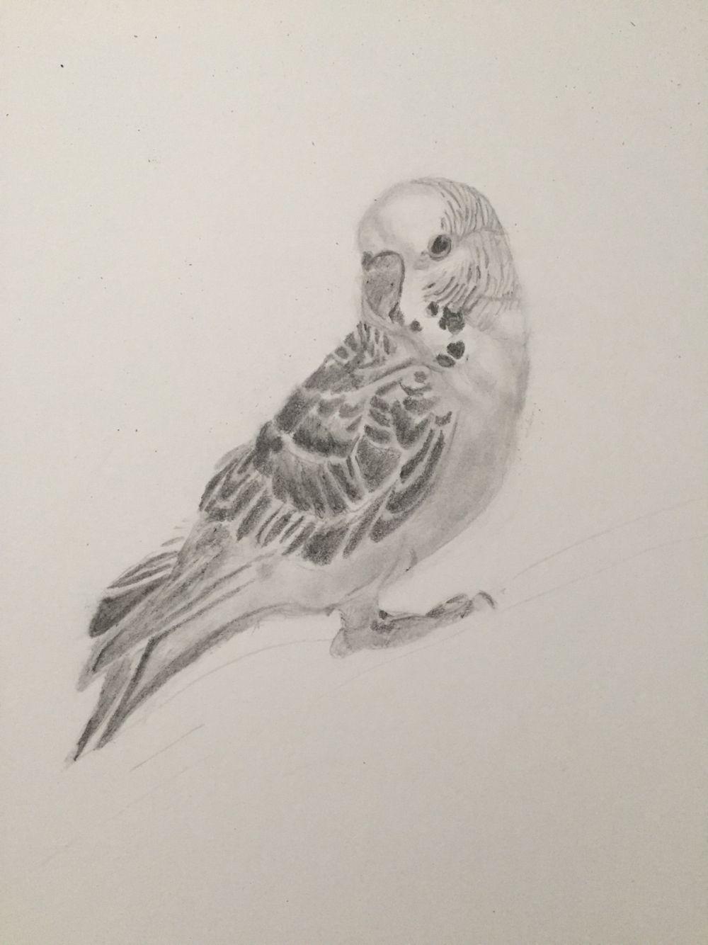 vogel bild ausmalbilder vogel wellensittich