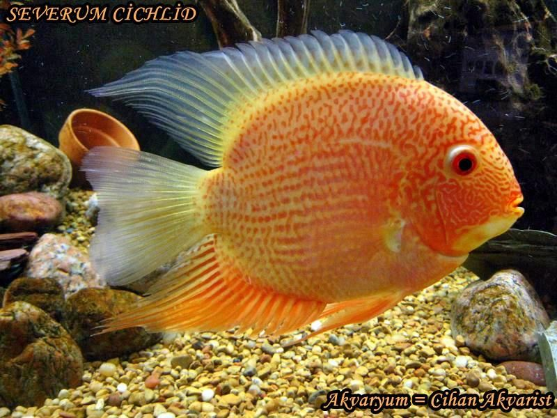 Beautiful Gold Severum I Hope Mine Have This Much Red When They Are Grown Ciclideos Africanos Peixes Exoticos Sobre Peixes