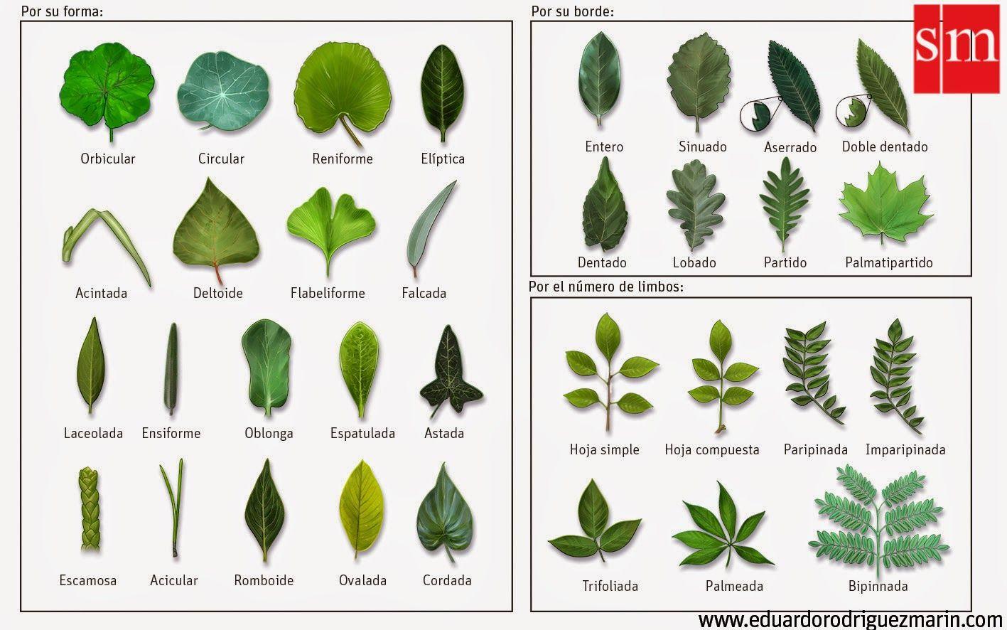 Tipos de hojas dfjtfj tipos de plantas hojas de arbol for Tipos de arboles para plantar en casa