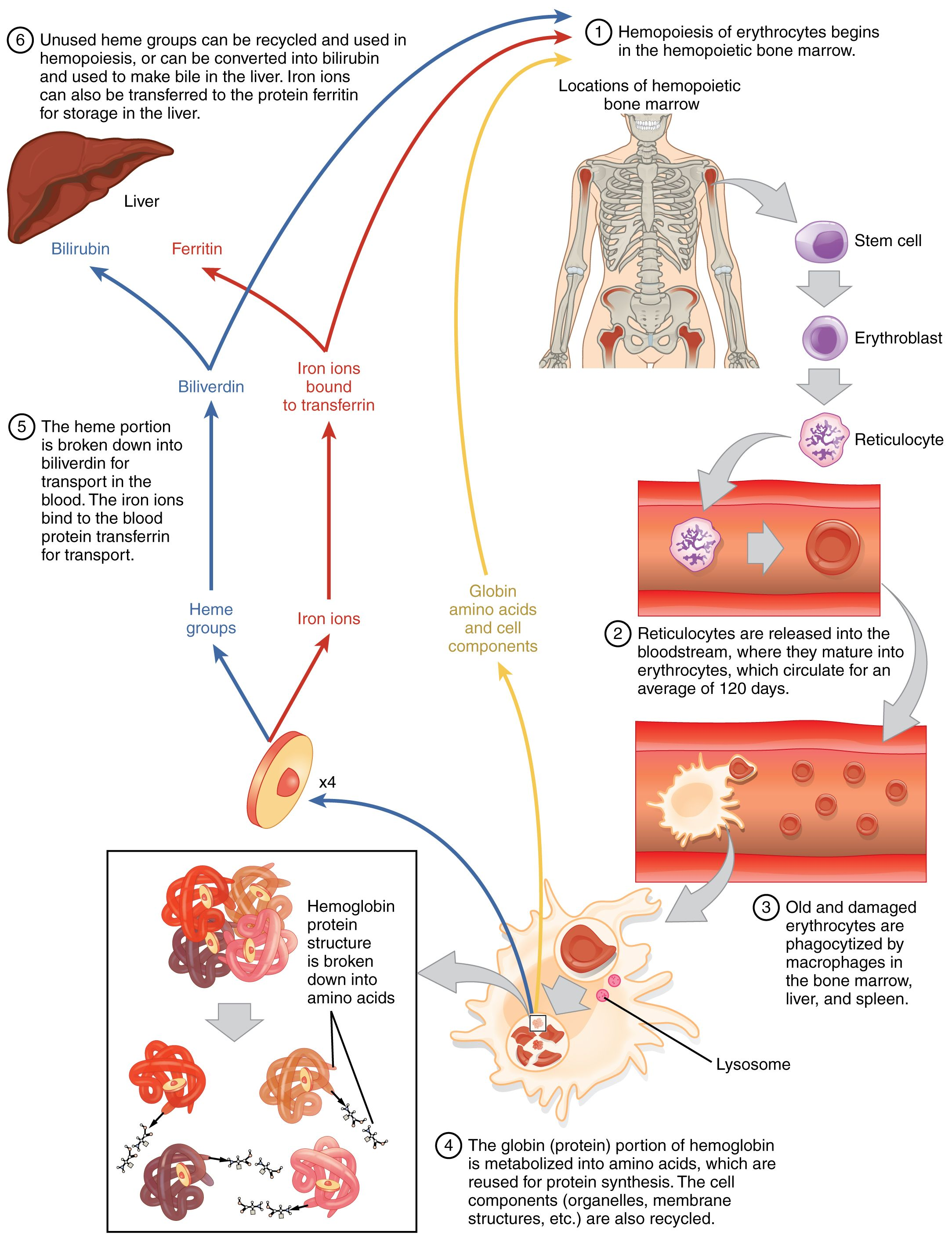 hight resolution of red blood cell diagram