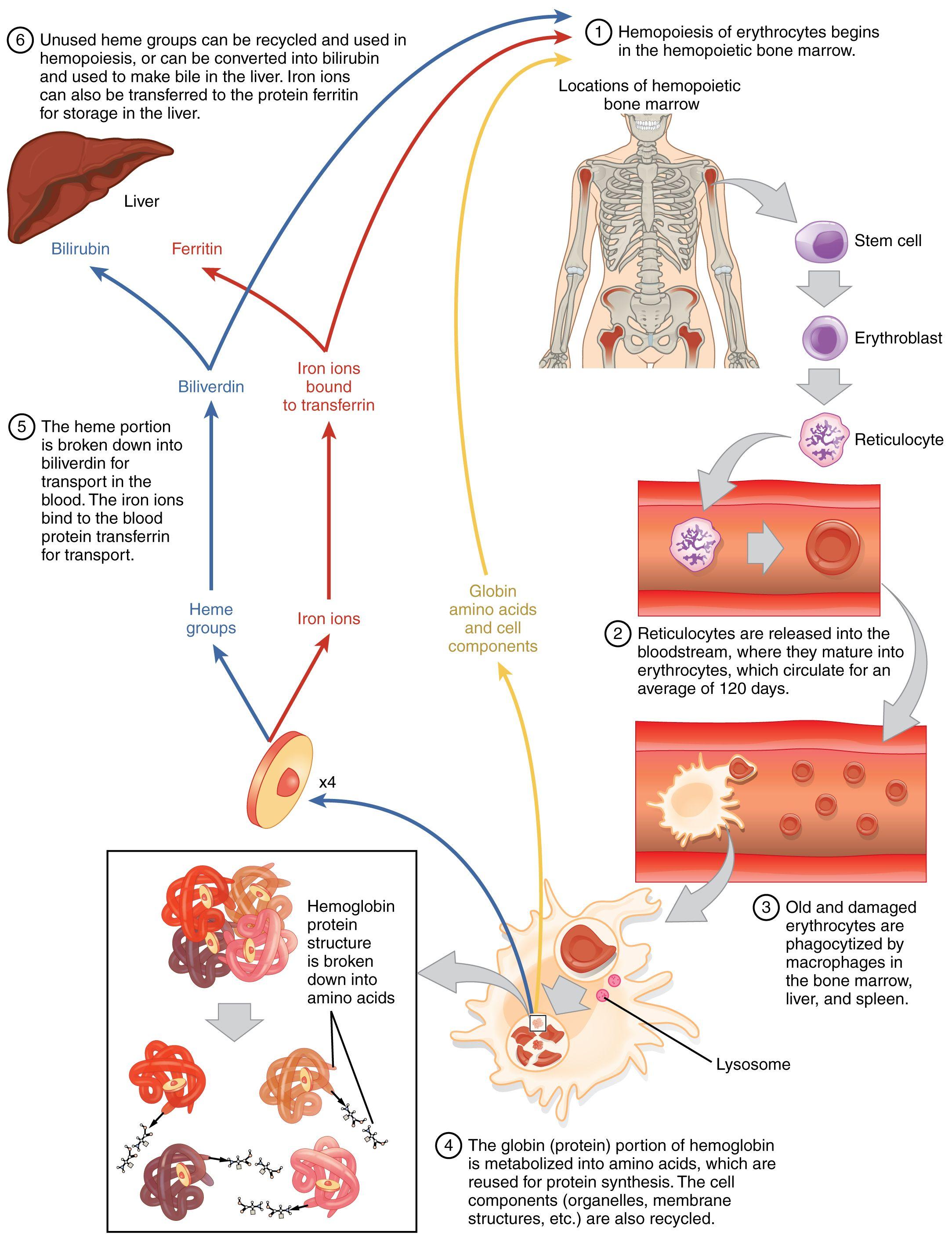 Red blood cell diagram art pinterest blood metabolism and red blood cell diagram pooptronica Gallery