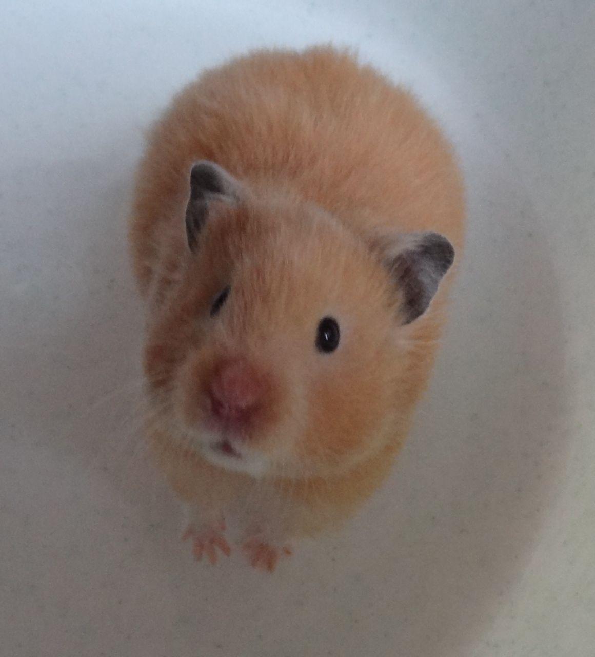 All About Syrian Teddy Bear Hamster House Care Toy Feeding Lifespan Bear Hamster Cute Hamsters Hamster
