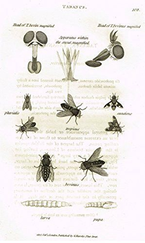 """Shaw's General Zoology - INSECTS - """"TABANUS TROPICUS"""" - Copper Engraving - 1805"""
