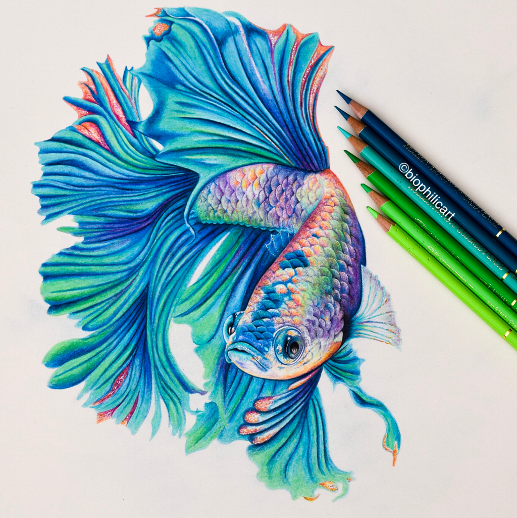 Picture Of A Betta Fish Drawn Using Colored Pencils Coloured Pencil Drawing Of A Betta F Pencil Drawings Of Animals Color Pencil Art Color Pencil Illustration