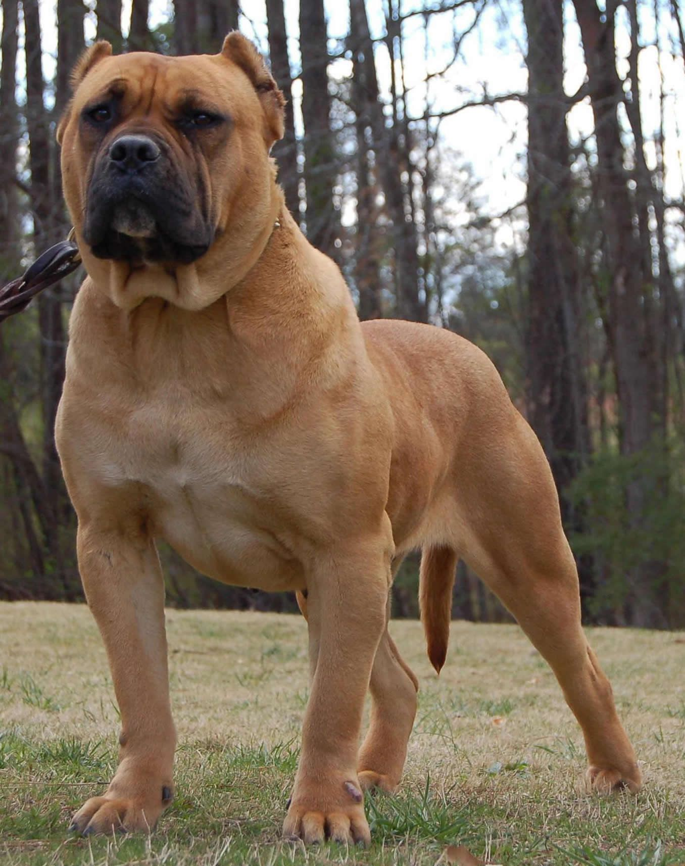 Image detail for Presa Canario Imported Females or Dogo Canario
