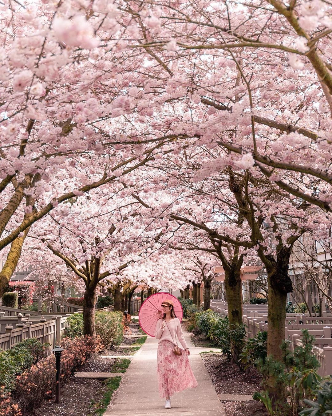 It S Raining Cherry Blossoms In Vancouver Right Now It S So Magical Photos Cherry Blossom Festival Cherry Blossom Cherry Blossom Season