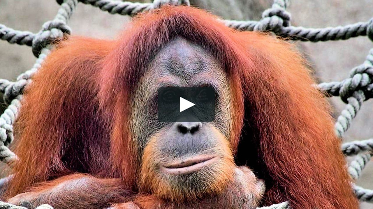"Apes Morphing. Beautiful photos of apes that blend together, using Morphing Music: ""Colorful primates"" by  Karpa - http://www.jaqverstappen.nl/ Morphingsite: https://www.facebook.com/Drakre52"