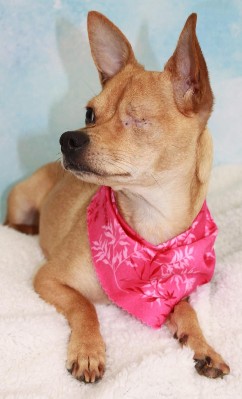 Adopt MADELINE ADOPTED!!!!!!!!!!!!!!!!!!! on Chihuahua