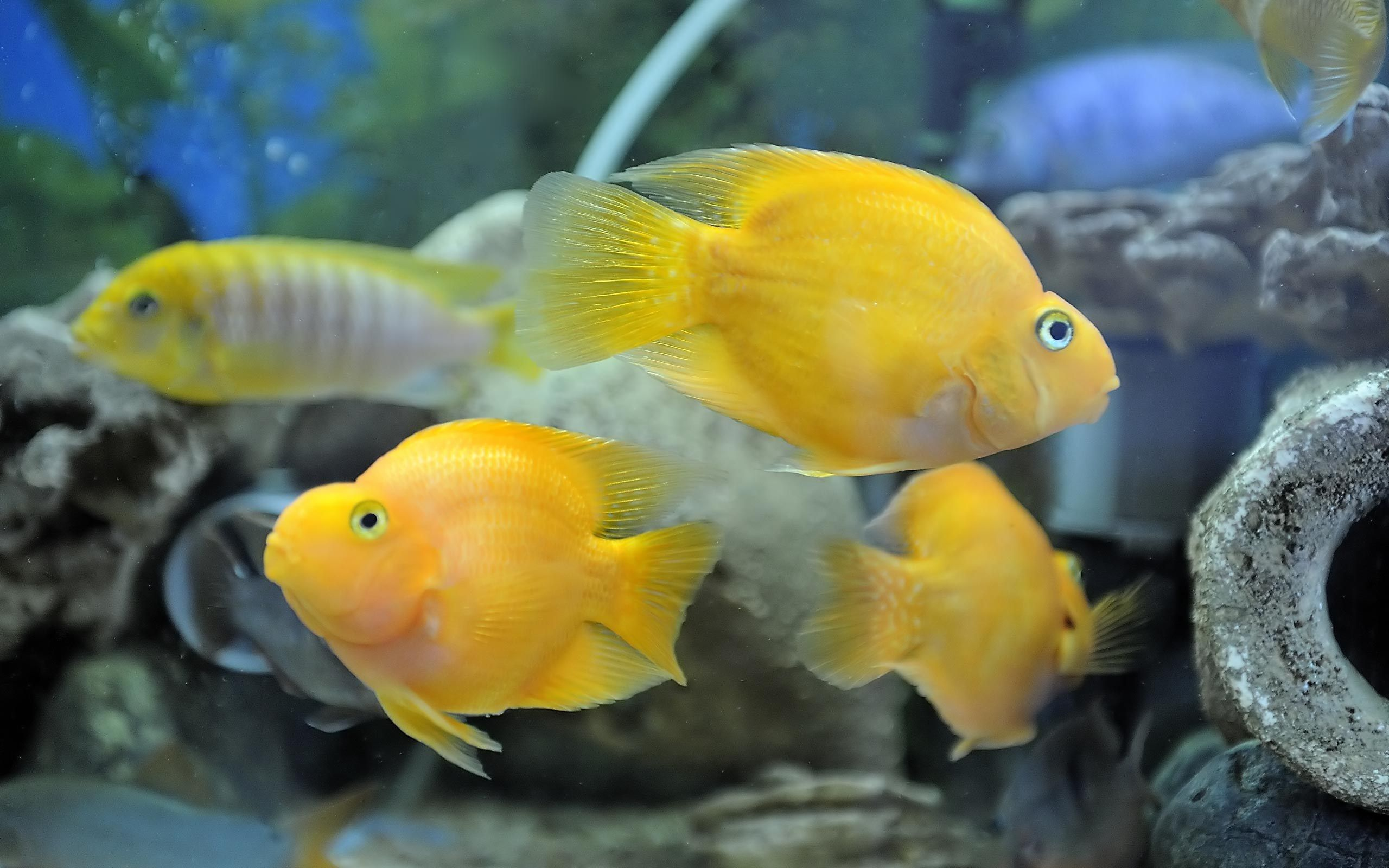 Yellow parrot fish nature under the sea pinterest for Parrot fish freshwater