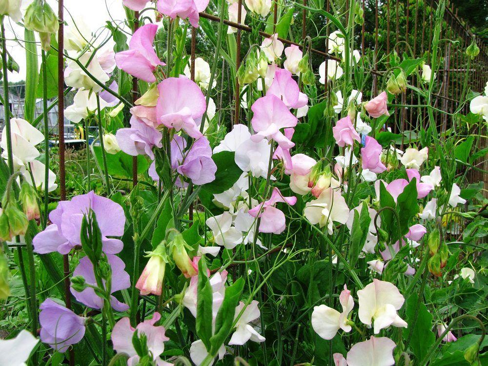 mijn 10 favoriete moestuinbloemen - diana's mooie moestuin - pokon