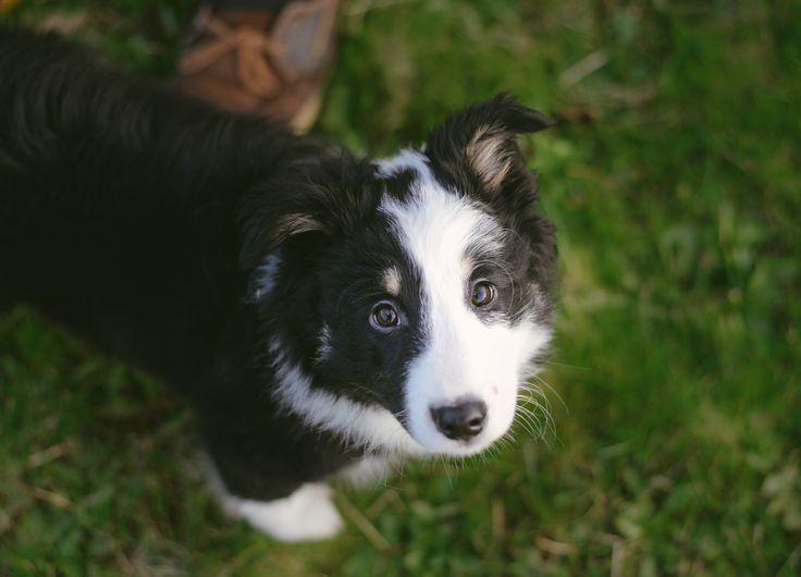 Pin von Barbara rathmanner auf Border Collie Puppies