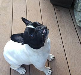 Paco Is An Adoptable French Bulldog Dog In Nashville Tn Paco Is