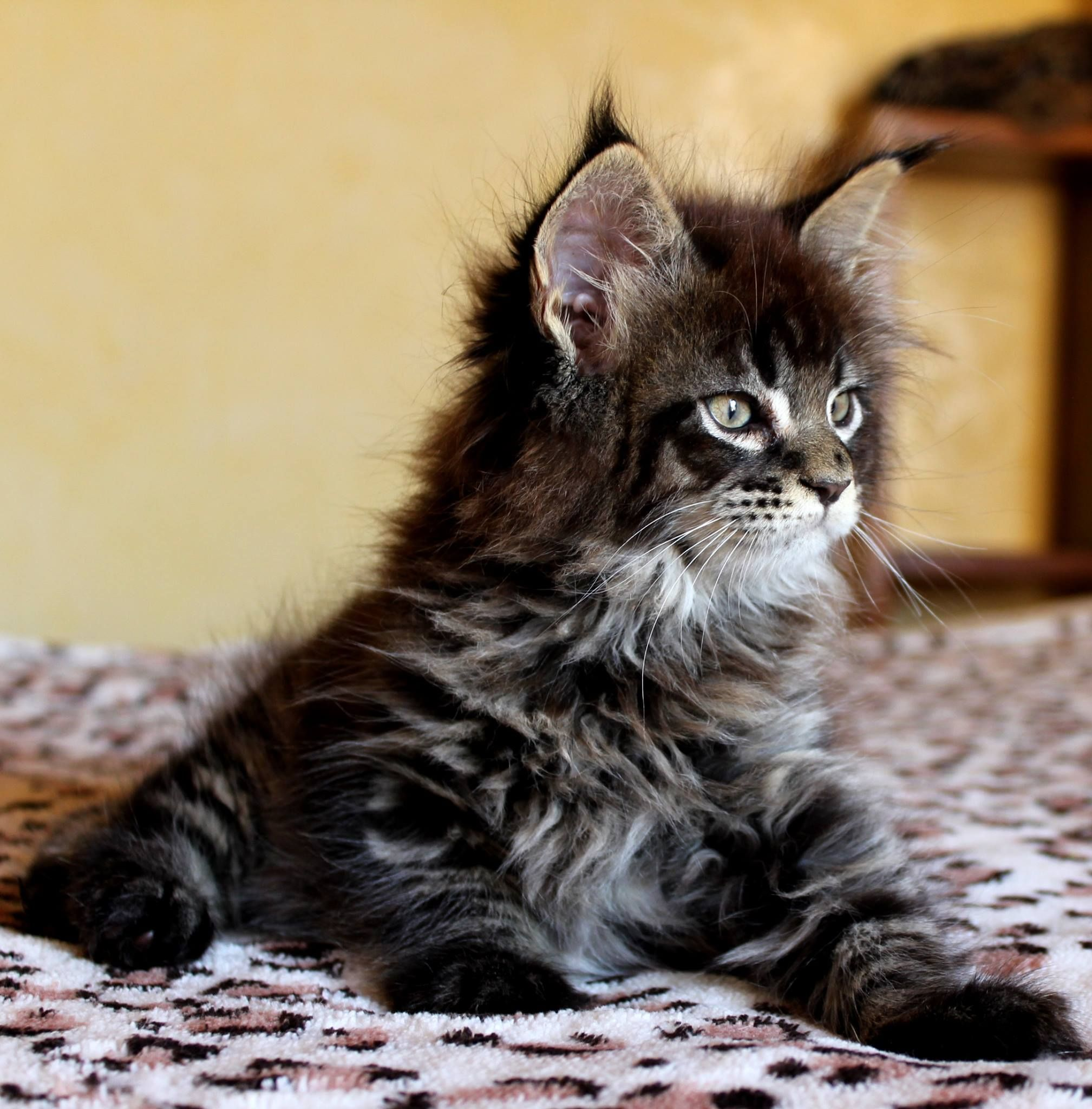 Victor Scameron brown tabby maine coon kitten | animales ...