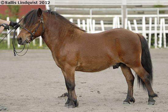 Shetland Pony - stallion Usvaniityn Hamilton