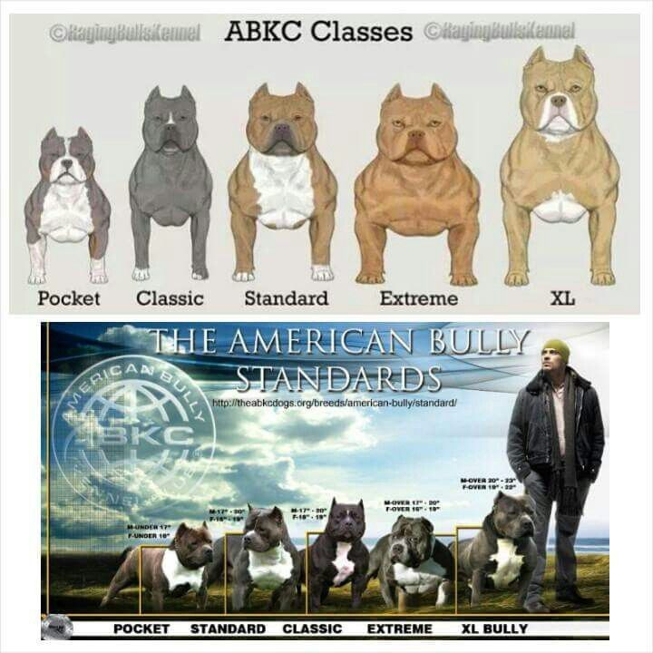 Abkc Standards Bully Breeds Dogs Bully Dog American Bully Pitbull