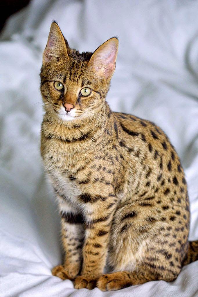 6 Smartest Cat Breeds Katzenrassen Katzen Rassen Beliebte