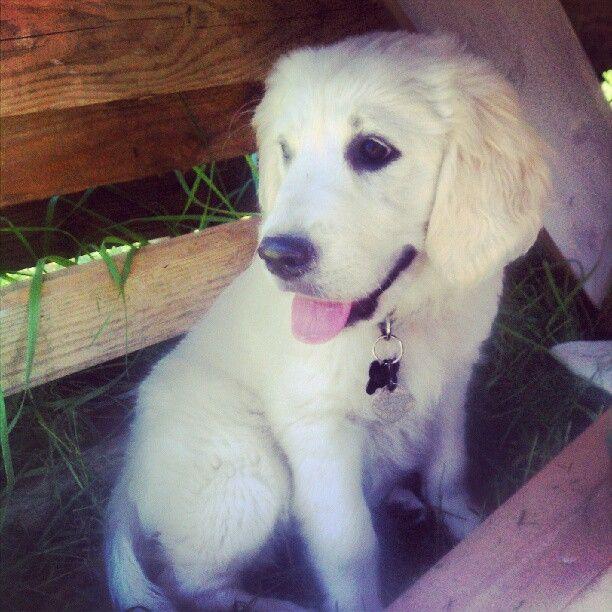 This is Maya. A white cream retriever. She's beautiful. @instapaigey