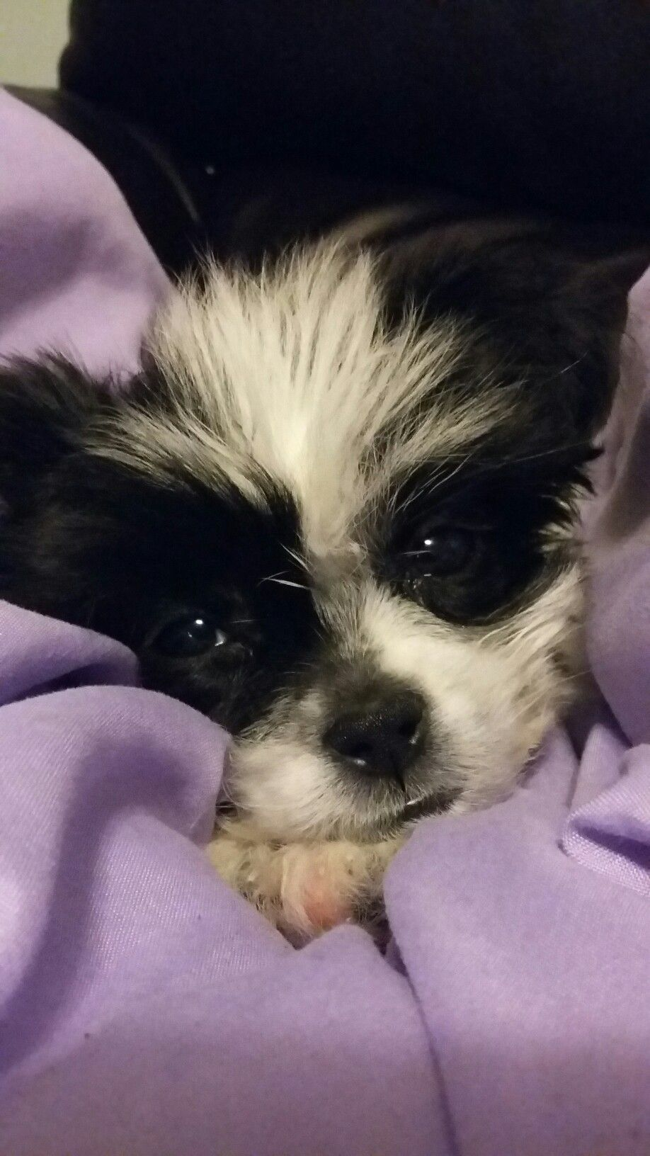 Zuchon Puppies For Sale London 2021