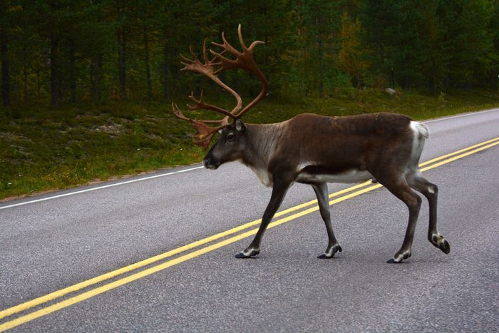A common sight in northern Finland. The reindeer are running over the road