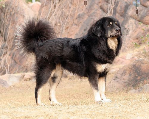 The Breed Of Sheepdogs Likely To Be Used On The Farm Mastiff