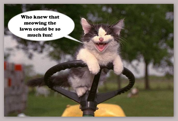 Mowing the Lawn | Funny cats, Cat quotes funny, Funny cat memes