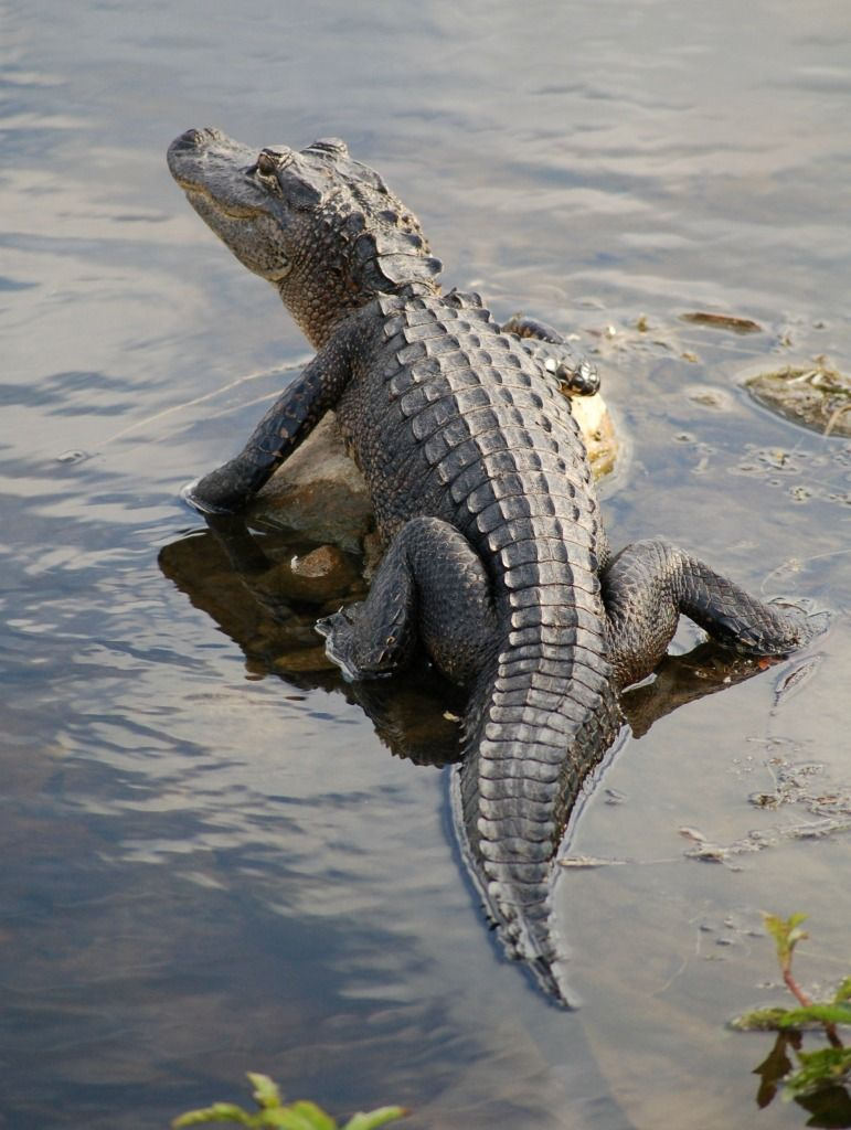 Animal & Gator out my back door | My Photography | Pinterest | Wild animals ...