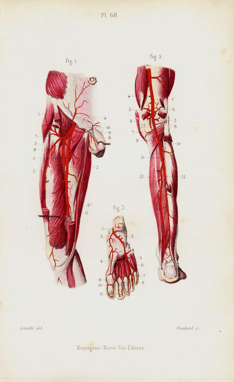 Vintage Anatomy | Anatomy | Pinterest | Anatomía artística y Anatomía