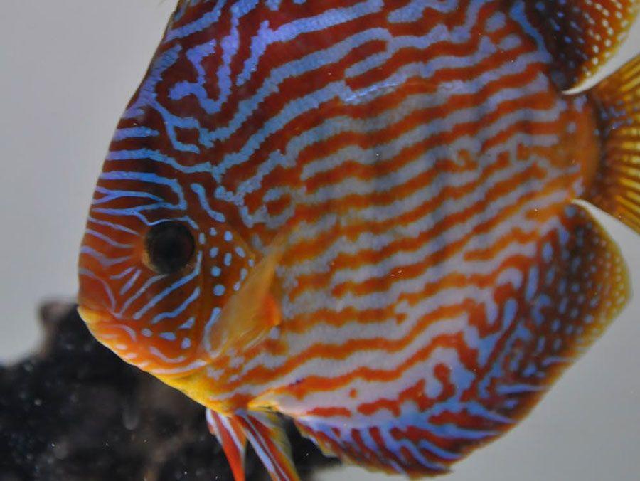 Cuipeua Royal Discus Discus fish, Freshwater fish
