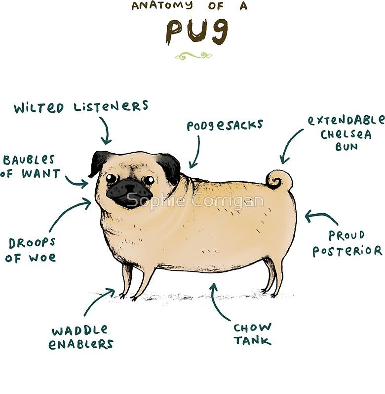 Anatomy Of A Pug Sticker By Sophie Corrigan Pugs Funny