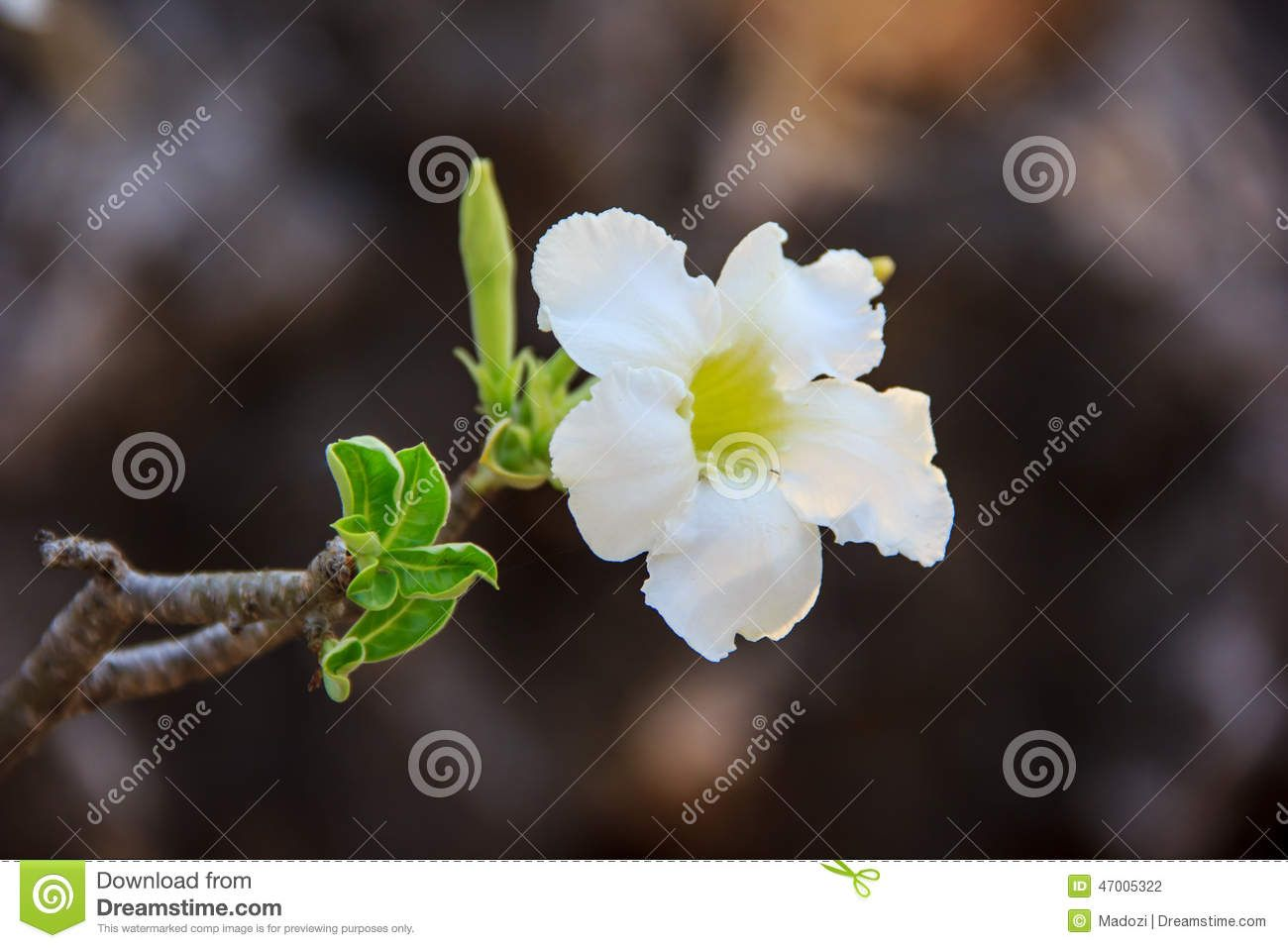 Image from http://thumbs.dreamstime.com/z/white-adenium-obesum-flower-closeup-47005322.jpg.