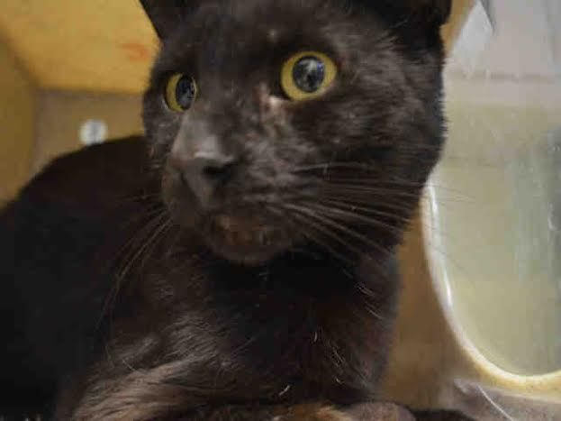 BRAZIL - A1043495 - - Brooklyn ***TO BE DESTROYED 07/15/15*** SHY AND TIMID BRAZIL WAS A STRAY WHO WAS HUNGRY AND APPROACHED PEOPLE FOR FOOD – SO SOMEONE FINALLY CAUGHT HIM AND DUMPED THIS 2 YEAR OLD EBONY KITTY AND NOW HE WILL DIE FOR HIS FEAR!!! BRAZIL was only hungry – and it is going to cost him his life. He was stray who would come to people to be fed but now that he was caught and dumped in the shelter the tiny cage and scary strange place is just too muc