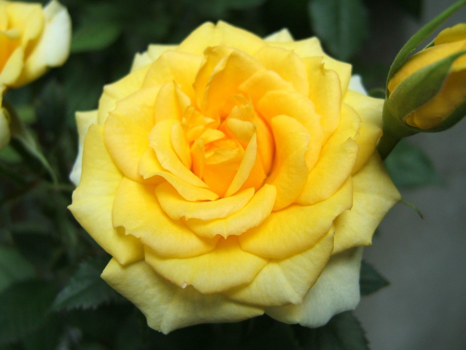 Yellow Rose Images Yellow Rose Wallpapers Hd Pictures Download