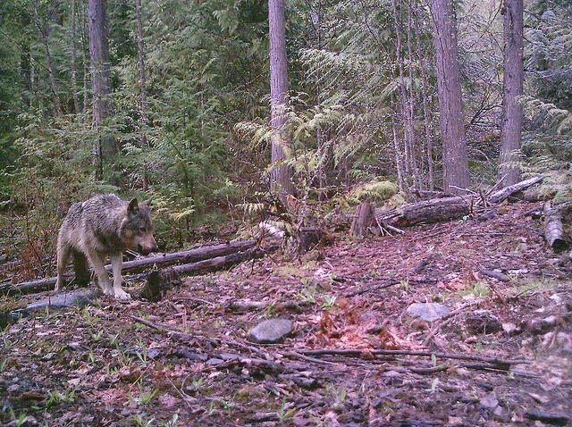 British Columbia Government Using 'Judas' Wolf in Unethical Hunt, Say Wildlife Advocates - Collared wolf may be kept alive to help government track and kill pack members time and time again