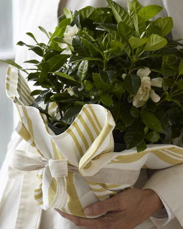 Gardenia wrapped in a tea towel.