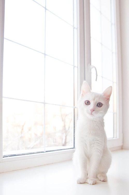 Such a beautiful white cat, we always have dark colour ones.