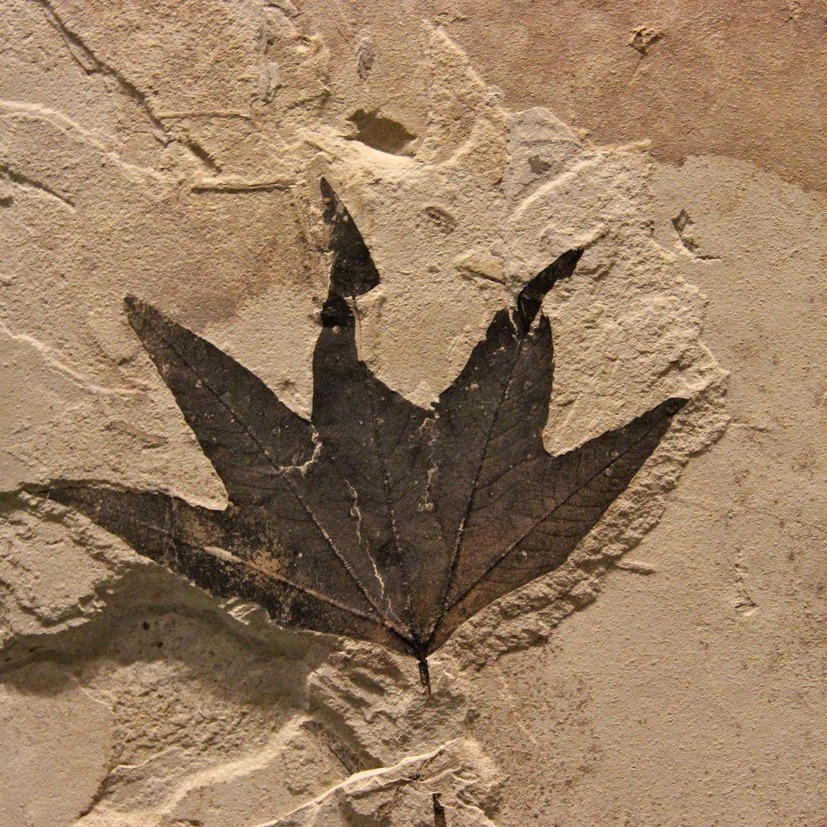 Macginitiea wyomingensis, an extinct sycamore - Green River Formation.
