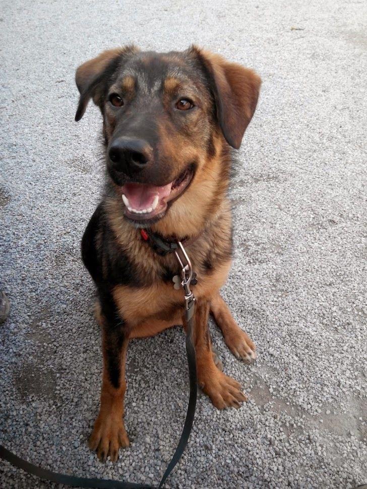 55 bernese mountain dog golden retriever german shepherd