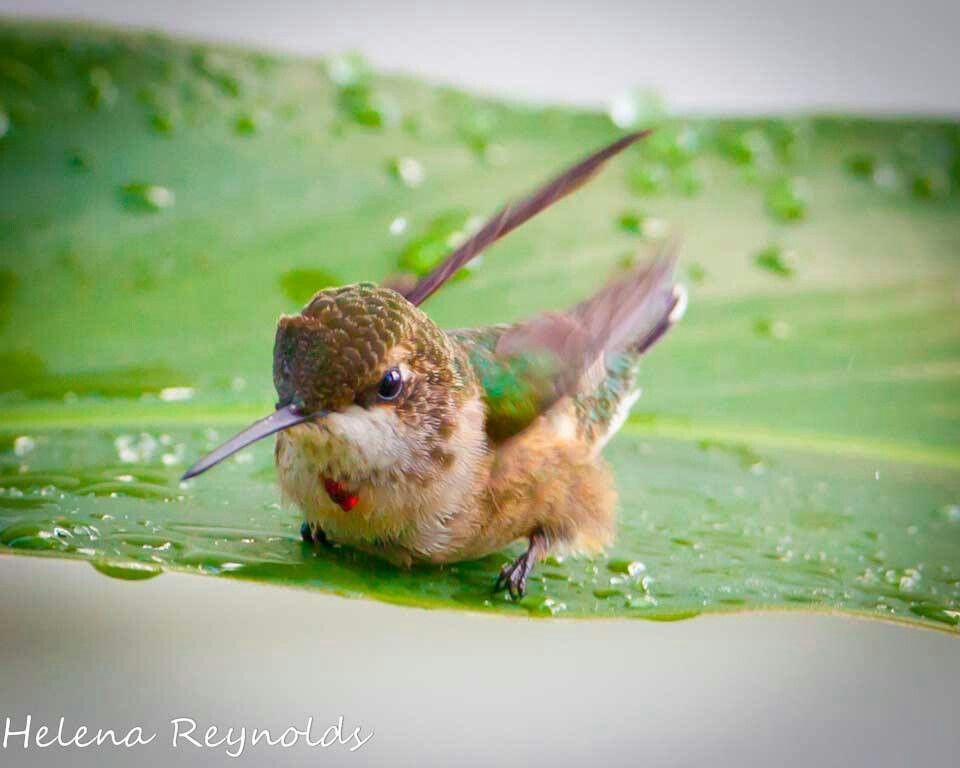 Ruby Throated Hummingbird pic by Helena Reynolds World