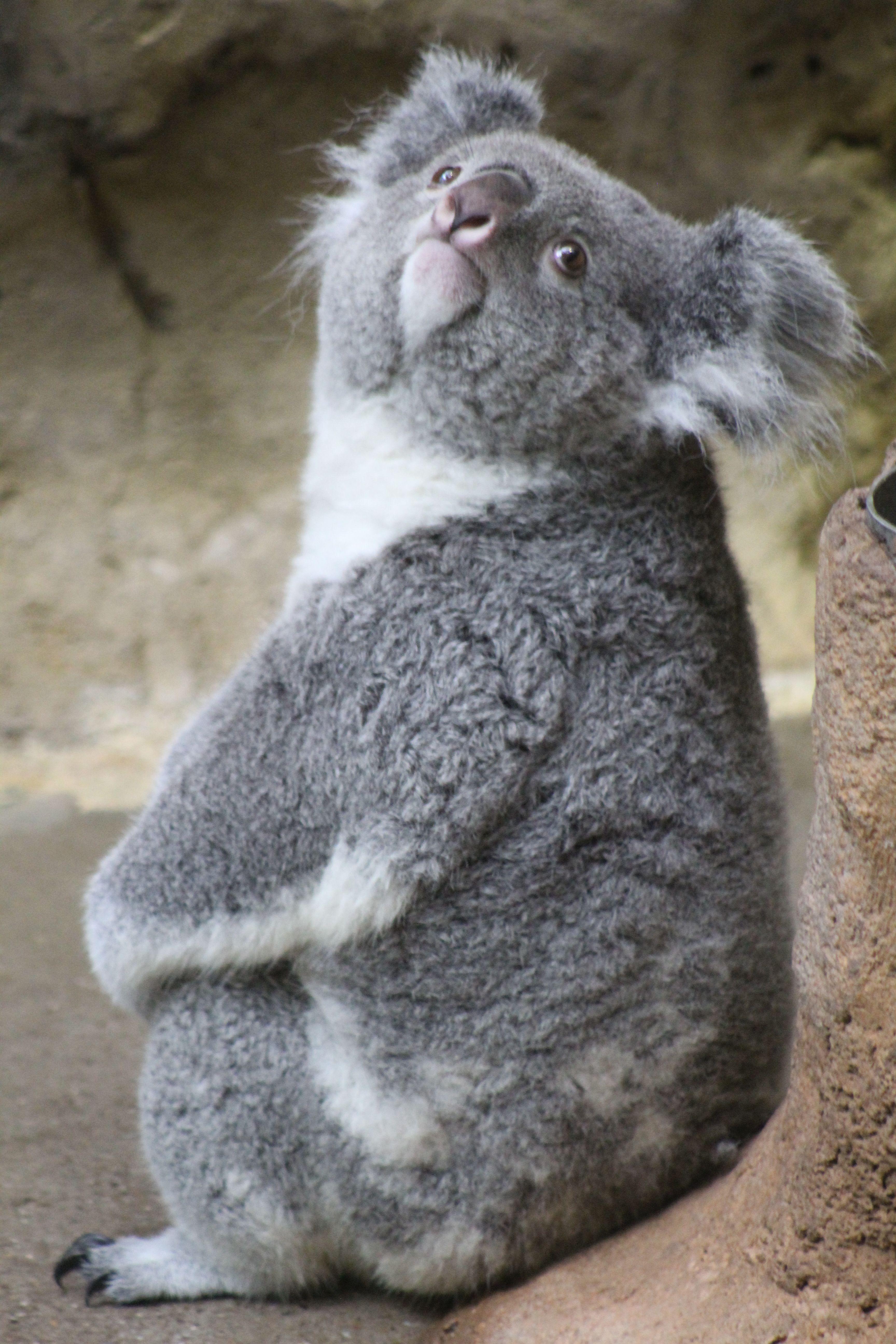 Yiribana Is Curious Animais Silvestres Imagens De Animais Coalas