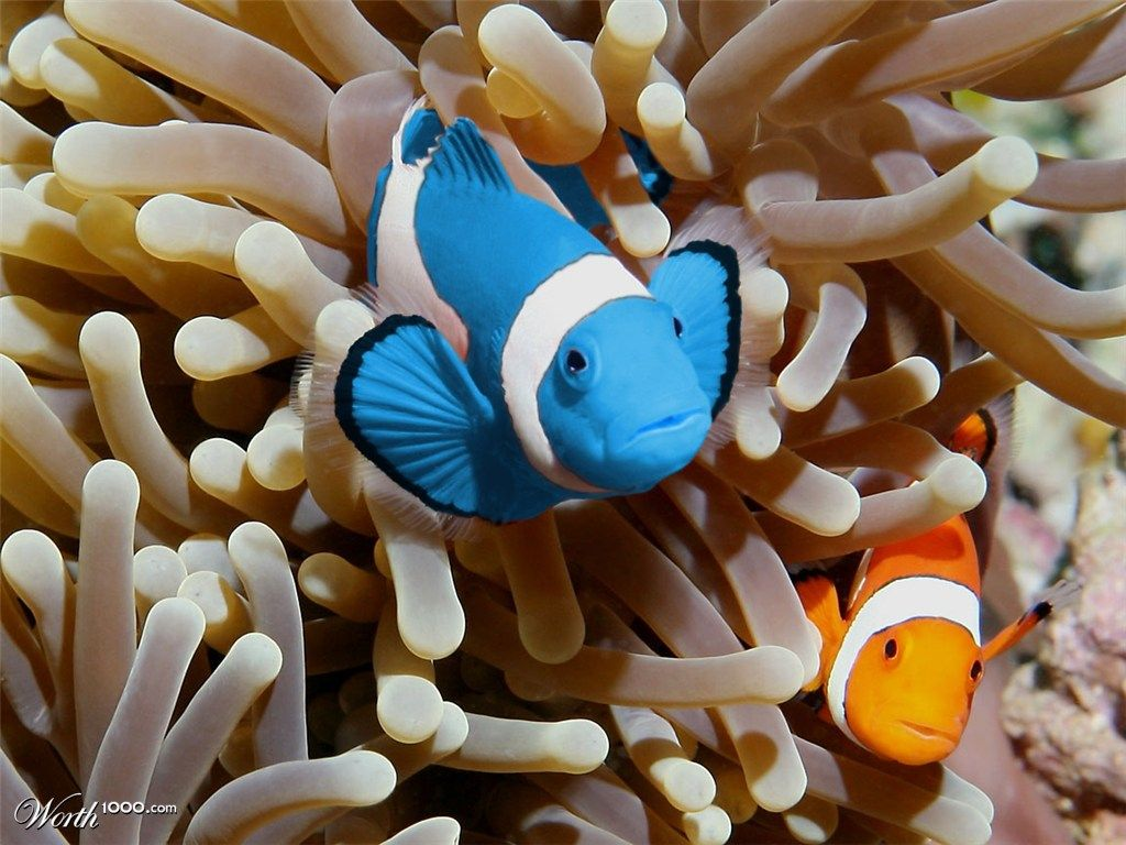 Blue clownfish blue clown fish by miriamitus 17th place for Fish and more