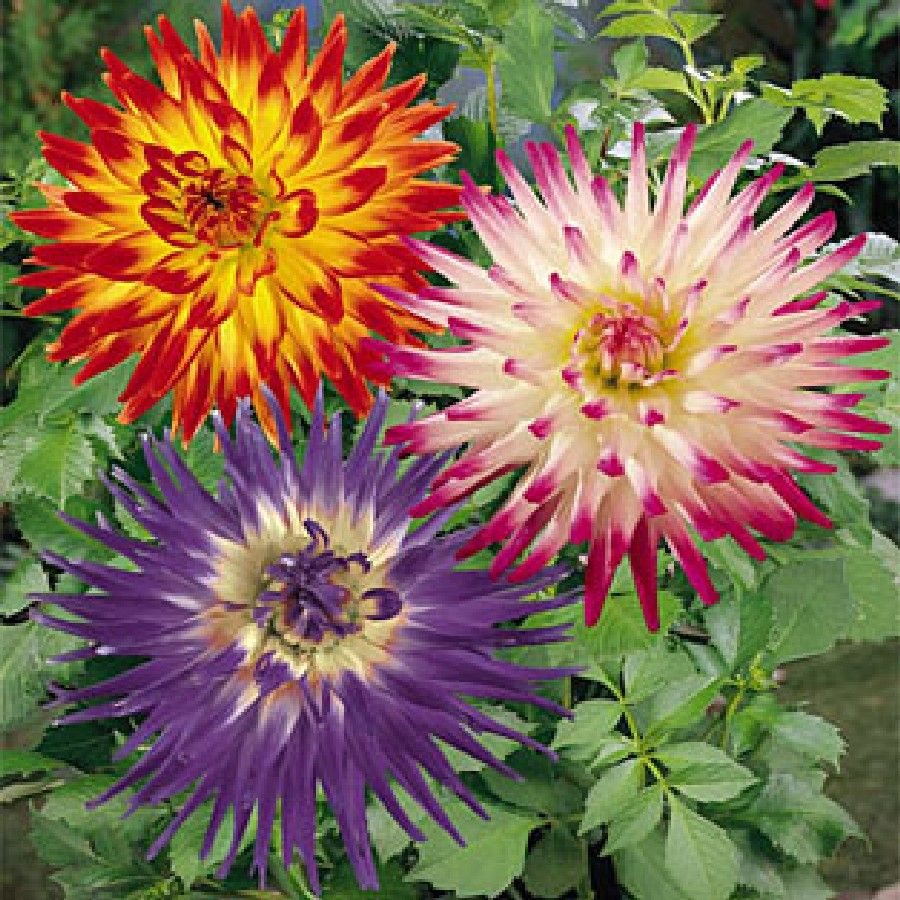 Grow Beautiful Dahlias - Plant Fireworks Mix Dahlia BulbsSpectacular show of color, as our Fireworks Mix of Dahlias explodes in your garden with its signature burst of color.  Comprised of two-toned cactus dahlias, this mix will give your garden bed or containers the pop of color and enthusiasm you are looking for.  Large, glowing blooms makes this one of our favorite mixes.